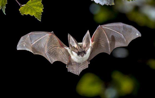 Learn about these fascinating residents of Canons Ashby on an evening walk with bat experts and volunteers.