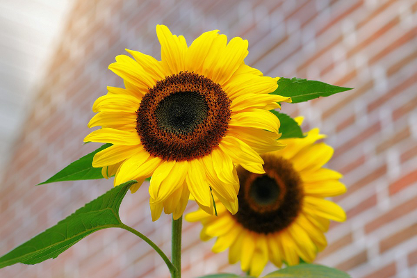 Banbury Town Council is looking for giant sunflowers – and is offering prizes to the growers of the tallest plants.